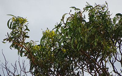 Golden Wattle Acacia pycnantha, Lot 50_Malone