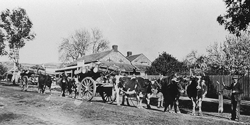 Hailstone's Bullock team in High Street, Willunga, 1916 SLSA B-55417-36