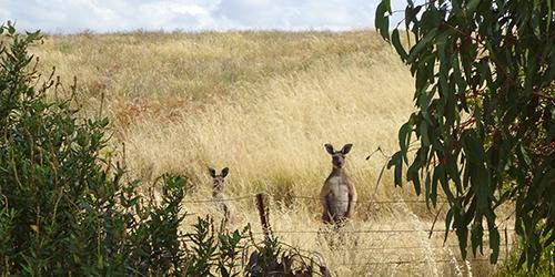 Kangaroos, Lot 50_Malone