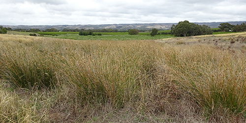 Sedges, Lot 50_Malone