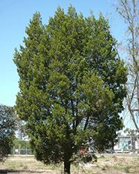 Native Pine Callitris gracilis_Malone